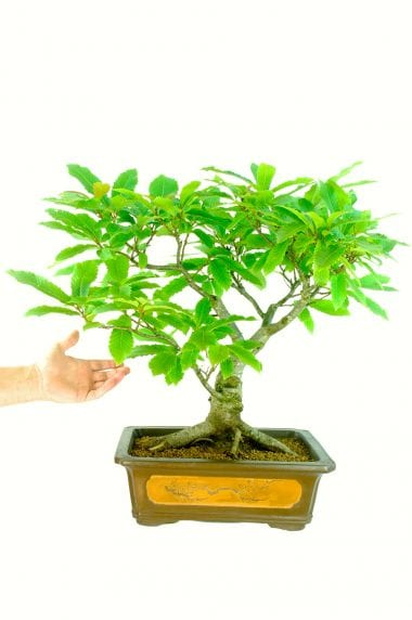 Extra -Large Beautiful Specimen Sweet Chestnut Bonsai Tree (Castanea sativa) - 30 years