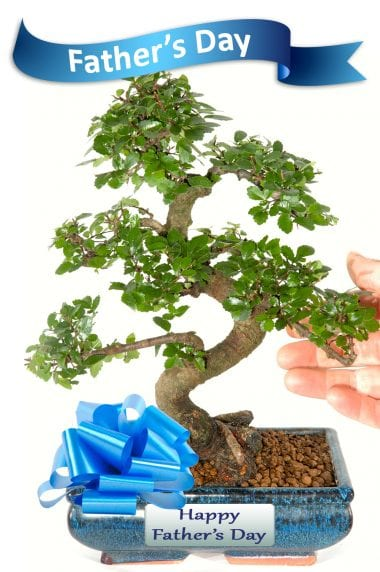 Fathers Day Mid-Sized Chinese Elm Bonsai