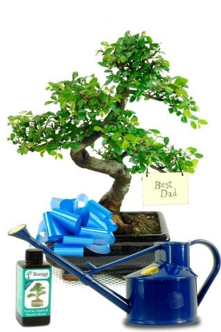 Beginners Chinese Elm Fathers Day Gift
