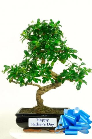 Larger oriental tea tree bonsai for sale for fathers Day
