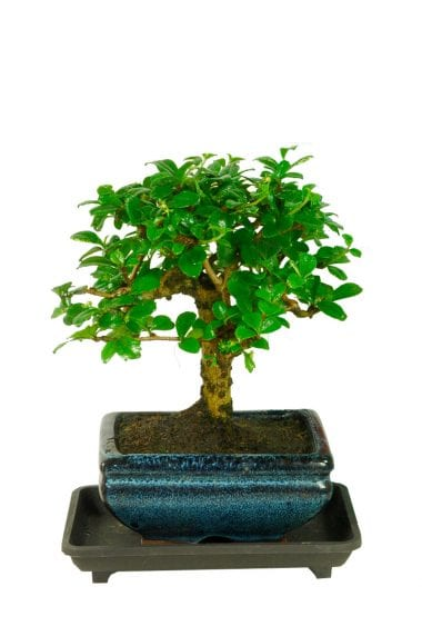 Flowering Baby Bonsai Tree with Drip Tray