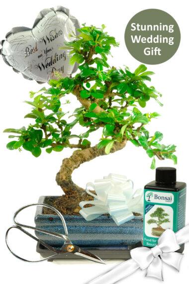 Flowering Bonsai Wedding Gift Set