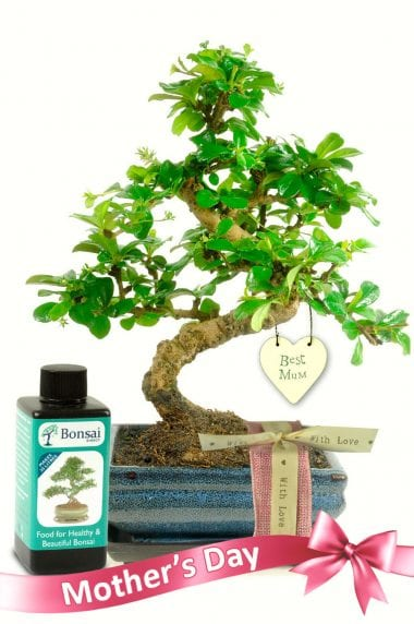 Outstanding Mothers Day bonsai tree gift set