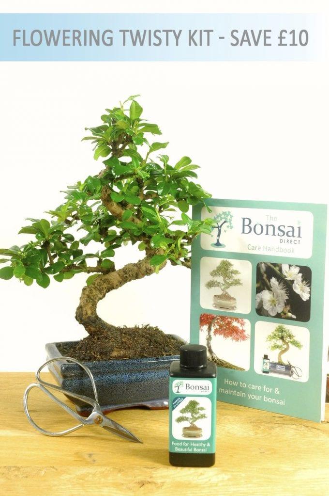 Flowering Oriental Tea Tree Bonsai Starter Kit