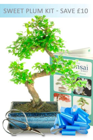 Fruiting Sweet Plum Bonsai Starter Kit