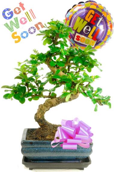 Get Well Flowering Bonsai Gift
