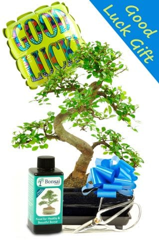 Good Luck Bonsai Gift