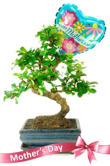 Gorgeous Mothers Day Bonsai Plant with free delivery