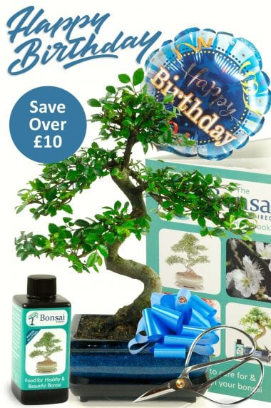Happy Birthday ~ For Him Bonsai Chinese Elm {Gift set 3}