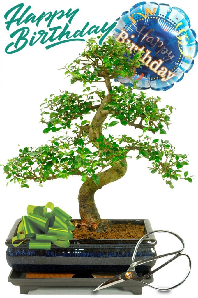 Happy Birthday Gift Chinese Elm Pack 1 (HB1ELM) - Larger Size