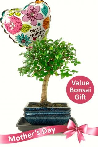 Happy Mothers Day Baby Chinese Elm Bonsai
