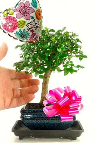 Happy Mothers Day Baby Broom style bonsai for sale