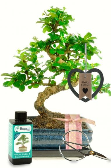 Unusual Birthday Gift For Her - Baby Bonsai Gift