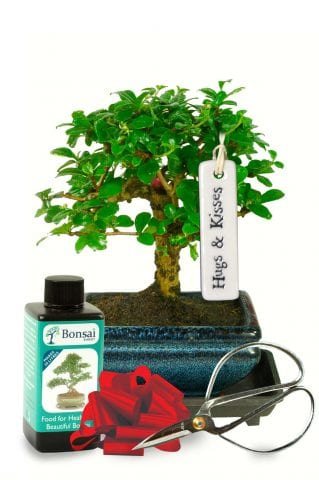Loving baby bonsai tree gift with small white flowers