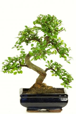 Special Offer Chinese Elm (Ulmus parvifolia) Bonsai with S-Shaped trunk