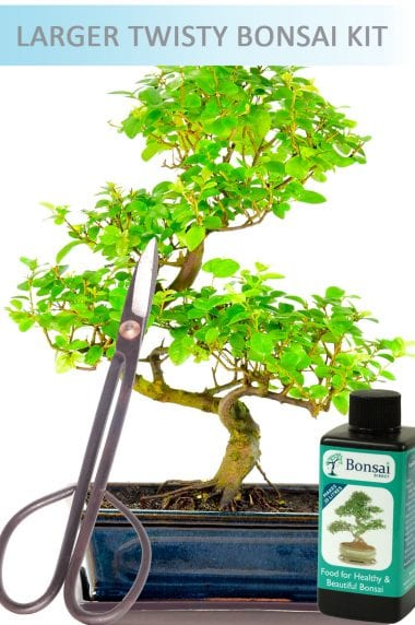 Indoor Bonsai Tree Set Chinese Sweet Plum (IDSAG3)