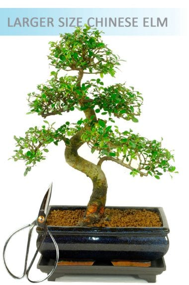 Indoor Bonsai Chinese Elm Set 1 (IDCE10) - Larger Size