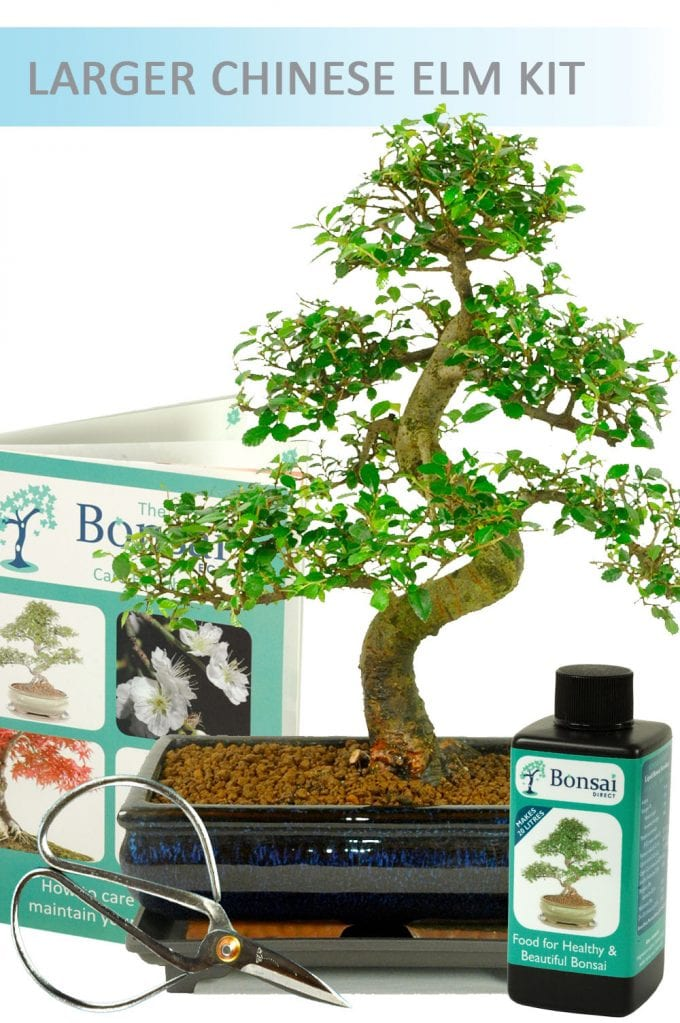 Indoor Bonsai Chinese Elm Set 3 (IDCE12) - Larger Size