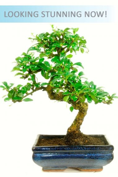 Indoor Carmona Bonsai - Larger Size.