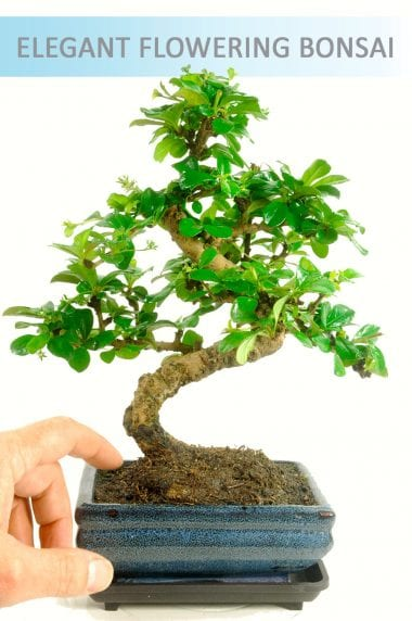 Indoor Oriental Tea Tree (Carmona microphylla) Bonsai with Drip Tray