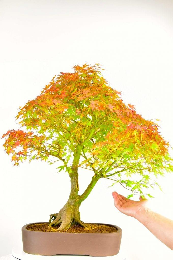 Large, Mature Specimen Japanese Maple Bonsai (Acer palmatum) ~ 25 years