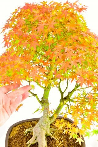 Early autumn colour of Specimen Japanese Maple Bonsai