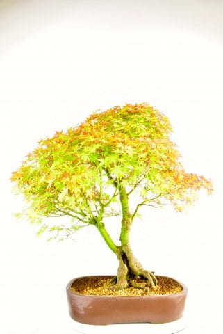 Specimen Japanese Maple Bonsai showing trunk detail and branches