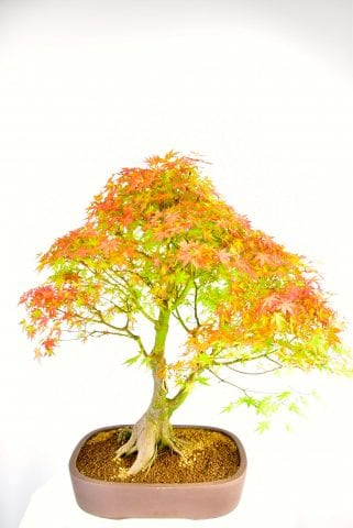 Mature Specimen Japanese Maple Bonsai early autumn colour