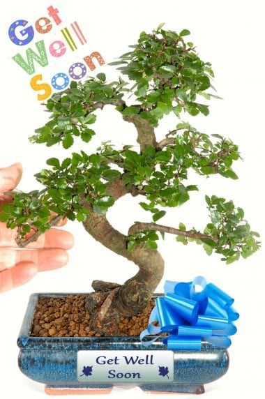 Larger Size Twisty Chinese Elm Bonsai - Get Well Gift