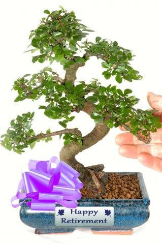 Larger Size Twisty Chinese Elm Bonsai Retirement Gift