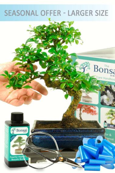 Larger Twisty Flowering Indoor Bonsai Kit
