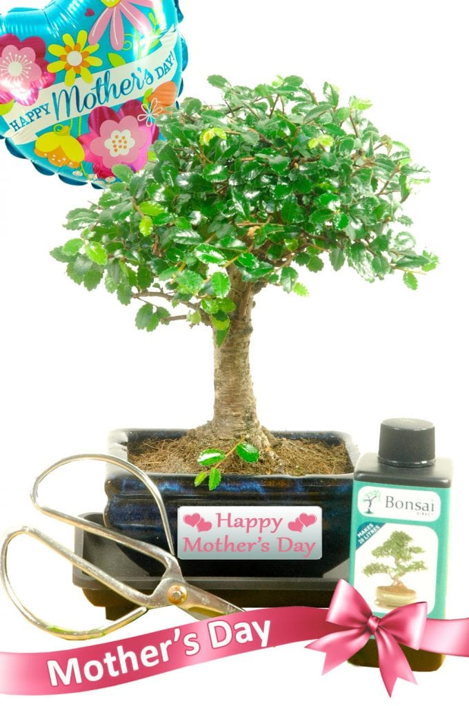 Gorgeous broom style beginners Mothers Day Bonsai Gift