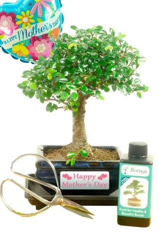 Broom style Mothers day bonsai for sale