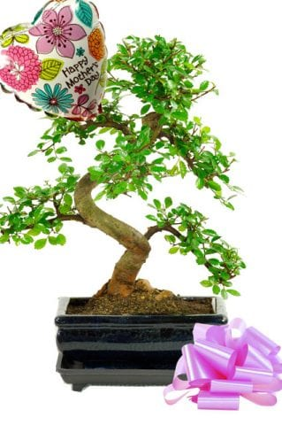 Chinese Elm Mothers day bonsai gift with free delivery