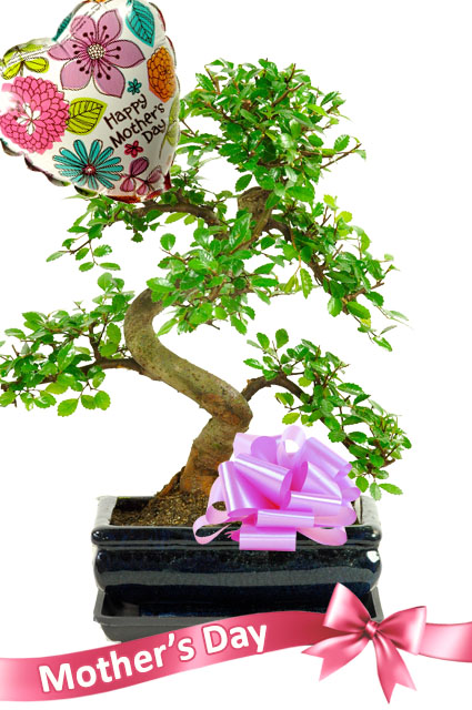 Twiggy Mothers day bonsai plant for sale