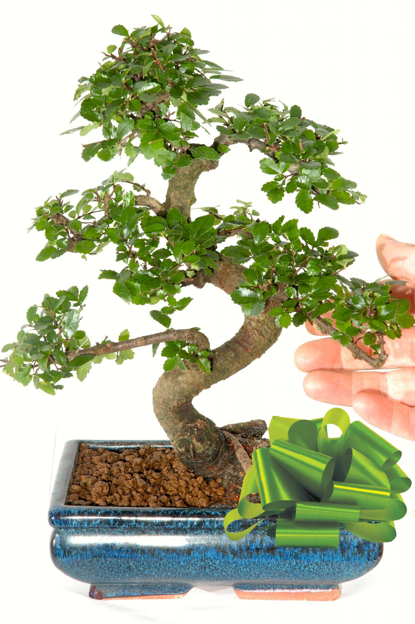 This Beautiful Chinese Elm Indoor Bonsai Tree Is For Sale In The Uk