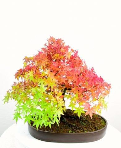 specimen japanese maple for sale