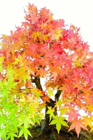 mature maple autumn leaves