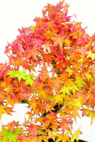 autumn colour of maple bonsai