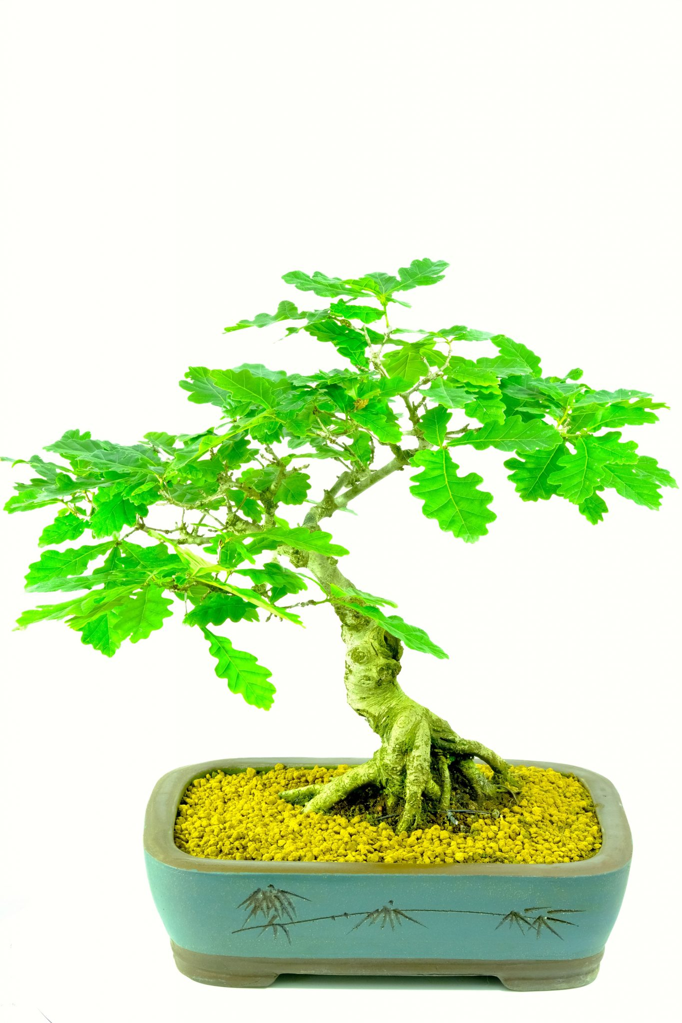 Specimen English Oak Hardy Outdoor Bonsai With Exquisite Character And Artisitc Appeal 25 Years Old
