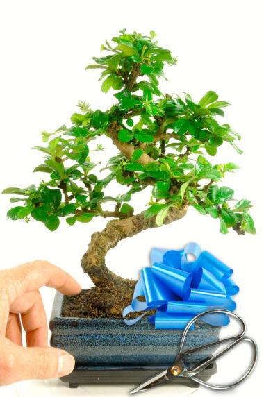Oriental Tea Tree Gift Set (GCAR2)
