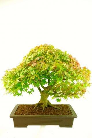 Striking foliage colour of maple bonsai