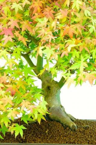 Outstanding Specimen Japanese Maple Bonsai (Acer palmatumm Kashima)