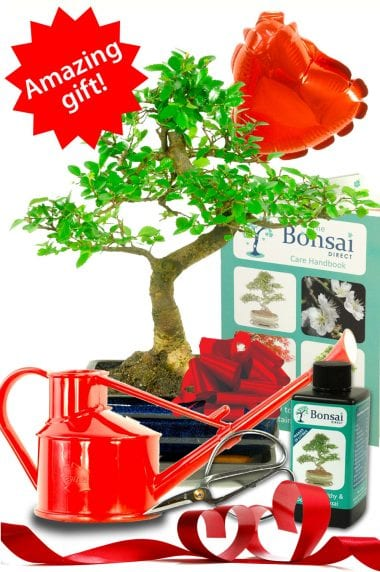 Outstanding Twisty Chinese Elm Bonsai Kit - Valentines Gift