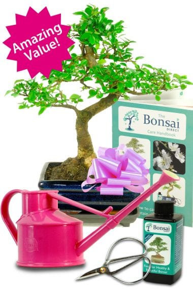 Outstanding Twisty Chinese Elm Bonsai Kit - choose the colour of the watering can!