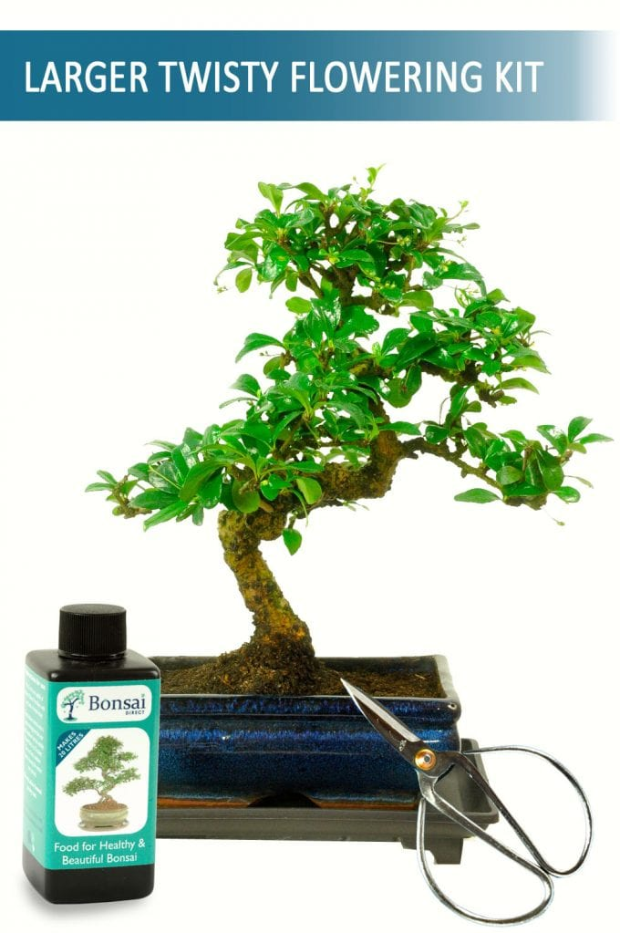 Perfect Bonsai Tree for your Desk