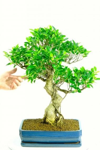 Extremely powerful indoor bonsai for beginners