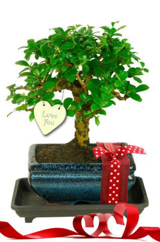 Pretty Flowering Valentine's Baby Bonsai Gift