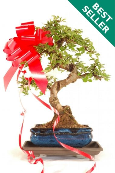 Pretty Indoor Bonsai Gift