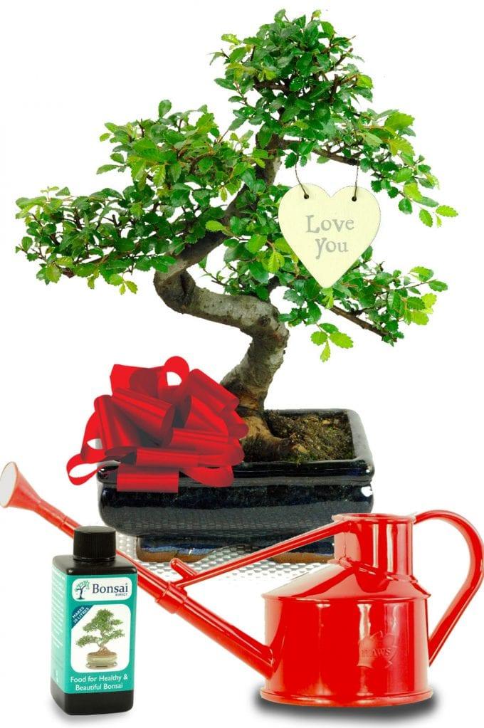 I Love You Chinese Elm Beginners bonsai Gift